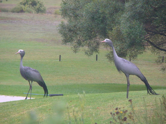 ‪‪Hermanus Lodge on the Green‬: SA National Bird the Blue Crane‬