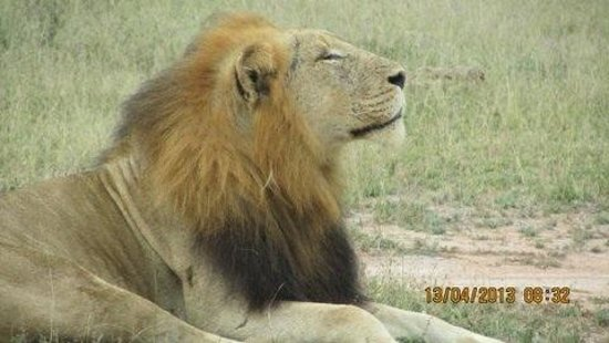 Lukimbi Safari Lodge: Lion King