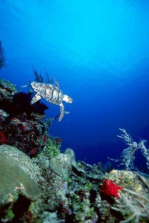 Compass Point Dive Resort: Sea turtle and reef