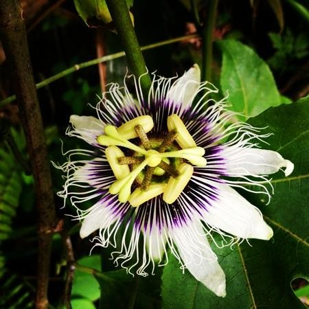 Princesa de la Luna Eco Lodge : passion fruit flower
