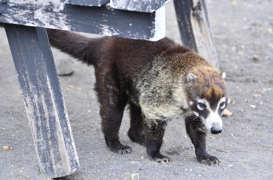 Province of Cartago, Costa Rica: Coati (pizote) a racoon like local critter
