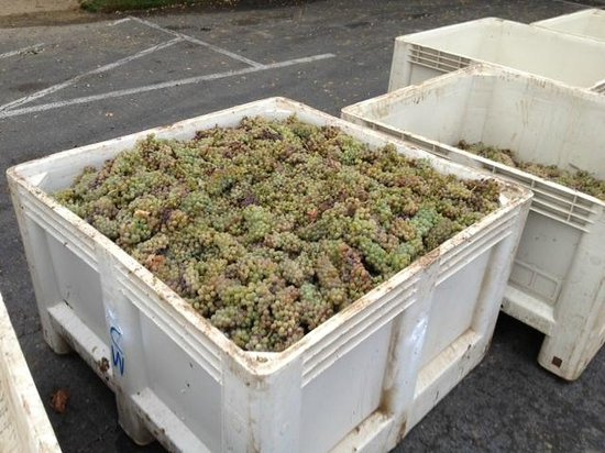 Los Olivos, Kalifornien: Grapes in their parking lot!