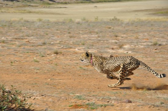 Inverdoorn Game Reserve: Velvet the cheetah at full speed sprint
