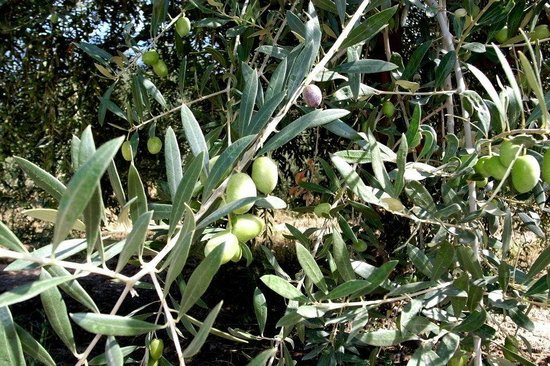 Posada Cavieres Wine Farm: Olive groves