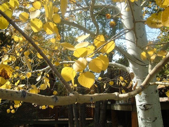 Nathrop, CO: Aspen near the walks
