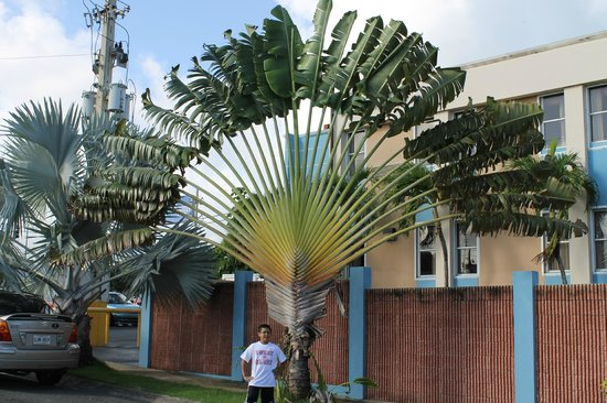 Parador El Buen Cafe Hotel: Fan Palm