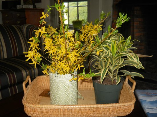 Barnstable, : Fresh spring forcythia in the living room