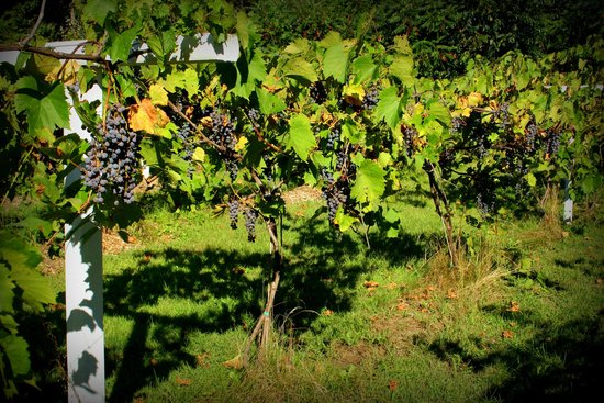 Brandon, VT: Frontanac grapes just few days before harvest