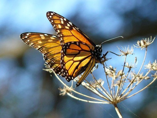 Grover Beach, CA: Monarch Butterfly Grover | Pismo Beach