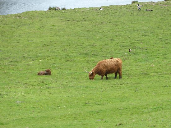 Caerhays, UK: Highland cattle near lake with geese