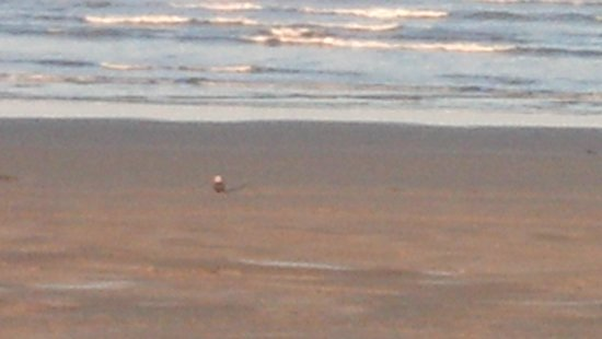 Pacific Beach, WA: bald eagle sitting on the beach early morning.