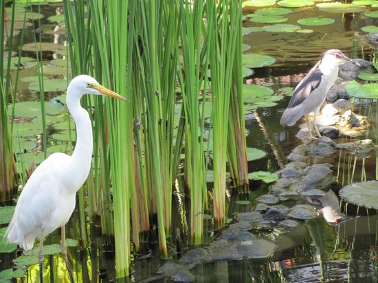Melia Benoa: Wildlife in the pond