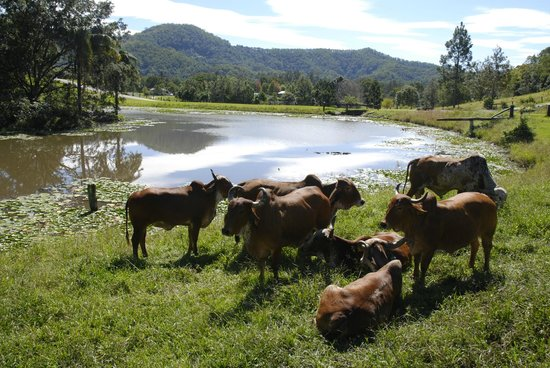 Murwillumbah, Australie : Cows by the river