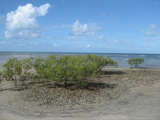 Cape Tribulation, Australi: lone mangrove on the beach