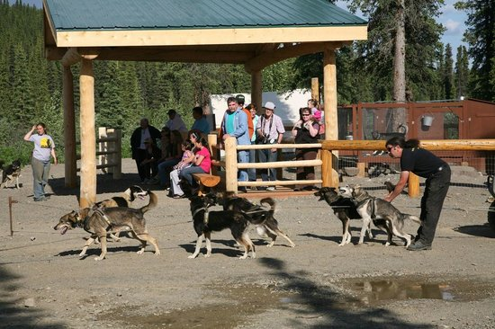 Cantwell, : Visitors watching sled dogs at DogGoneIt Tours