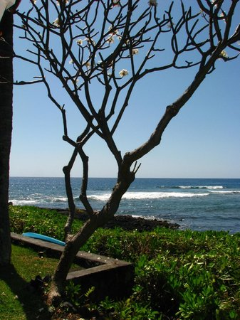Keauhou Kona Surf And Racquet Club Resort : plumeria tree 