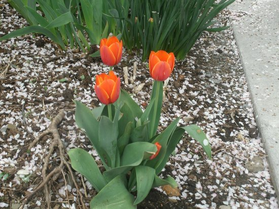 Berkeley Springs, WV: Jeweled Tulips