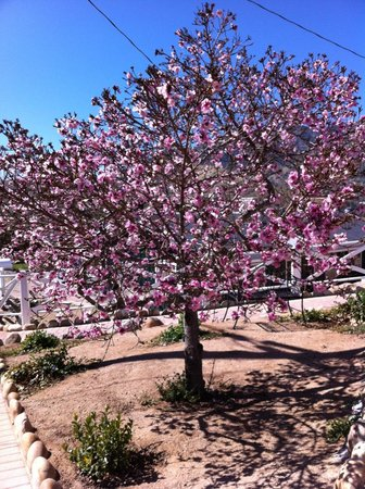 Kernville, CA: Blooming Tree