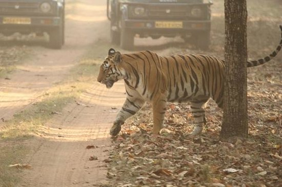 Madhya Pradesh, Indien: Tigress crossing road in front of jeeps