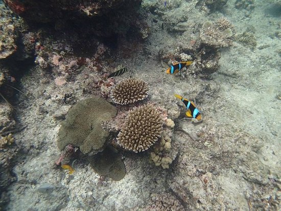 Mana Island Resort: Anemone fish - 10 metres from the shore