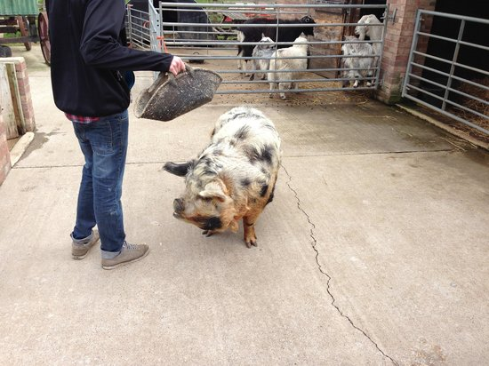 Bedale, UK: A really friendly pig!