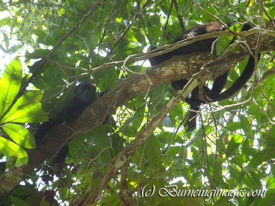 Cayo, Belice: Howler monkeys