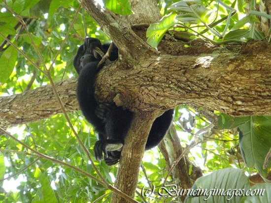 Cayo, Belice: Howler monkey