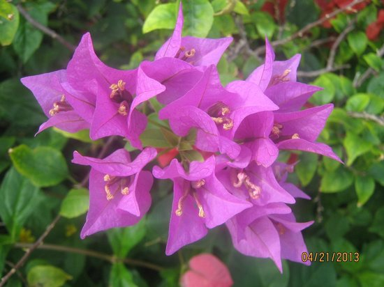 Allegro Cozumel: Bouganvilla blooming all over the place