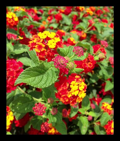 Spring, TX: R J Goodies lantana flowers