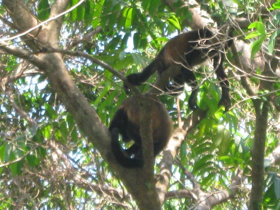 La Cusinga Eco Lodge: Howler monkeys... time for siesta