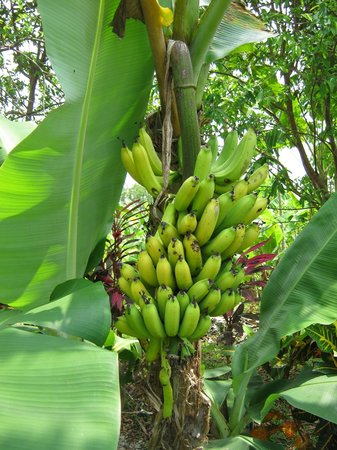 La Cusinga Eco Lodge: Bananas for Breakfast and dessert