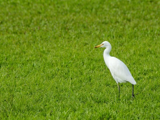 Holiday Inn Resort Goa: An Egret on the hotel lawns