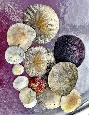 Hotel del Coronado: Sand Dollars