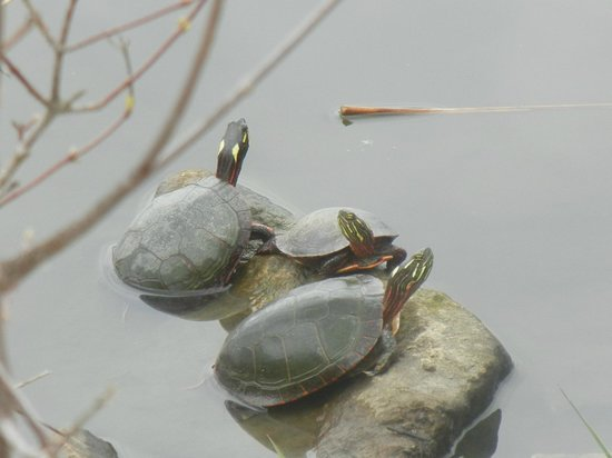 Huron, Ohio: Turtles sunning in marsh