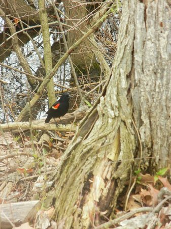 Huron, Ohio: Red-winged blackbird?
