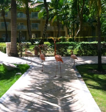 Dreams Punta Cana: flamingos on our walk to the pool