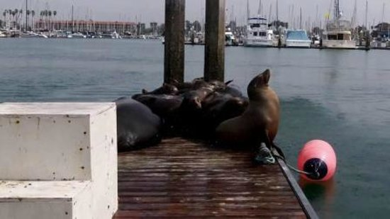 Crowne Plaza Ventura Beach: Sea Lions at the Harbor