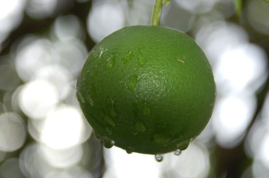 Parker Cottage: Rain on the citrus in the garden one morning