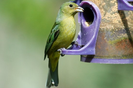 Darien, Géorgie : Female painted bunting
