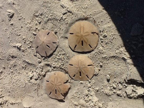 Darien, Géorgie : Sand dollars AKA Mermaid money