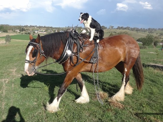 Bathurst, Австралия: Ruby our Border Collie Dog riding Bella our Clydesdale Horse