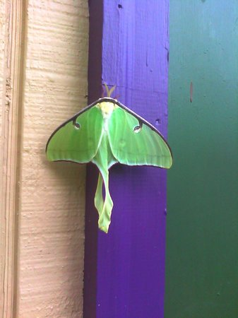Cedar House Inn & Yurts: Exquisite Luna Moth