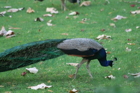 Dhaulpur, India: A peacock on the hotel grounds, there were many