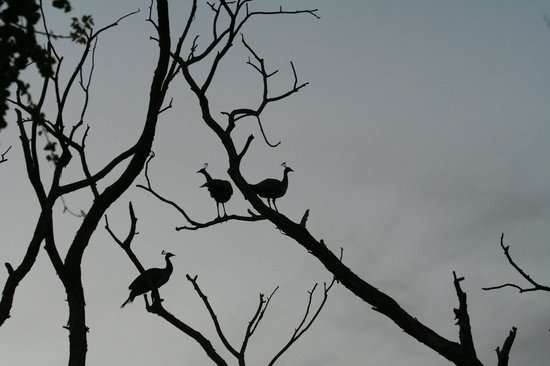 Dhaulpur, India: A pair of pea-hens perched on a tree retiring for the night