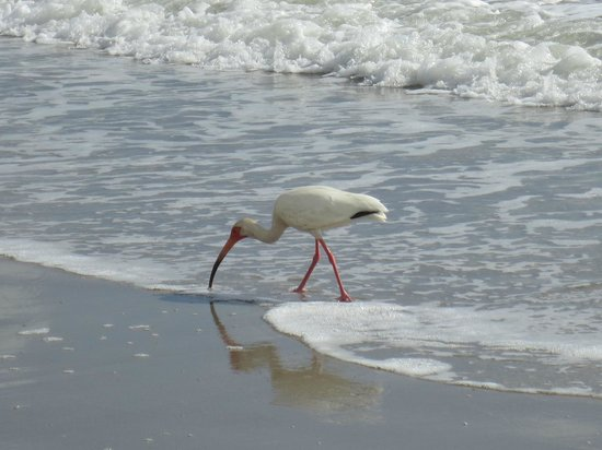DoubleTree Suites by Hilton Melbourne Beach Oceanfront: white ibis on the beach steps from the hotel