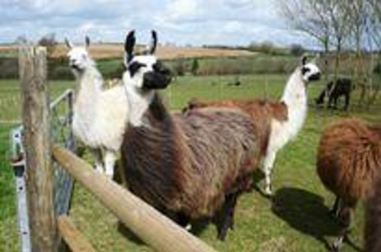 Towcester, UK: Catanger Llamas