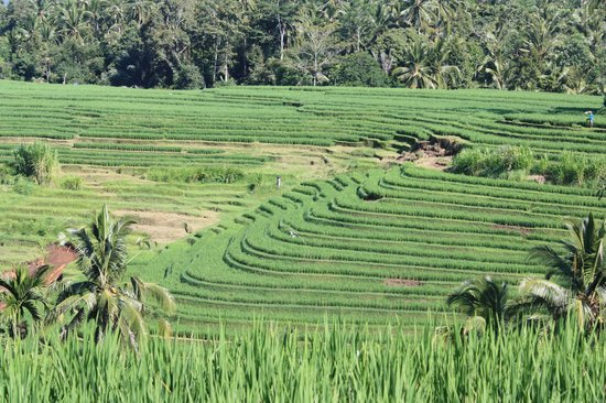 Bali Eco Stay Rice Water Bungalows: Rice Paddy Walk