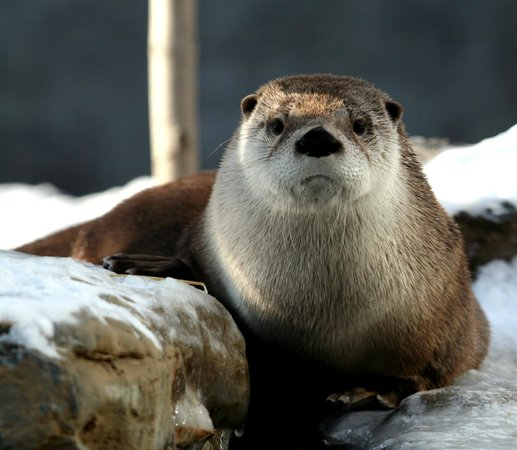 Riverhead, Nueva York: You otter meet our North American river otters.