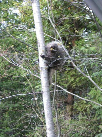 Port Elgin, Канада: Porcupine