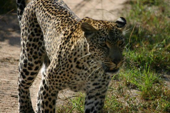 Simbambili Game Lodge: Majestic female Leopard